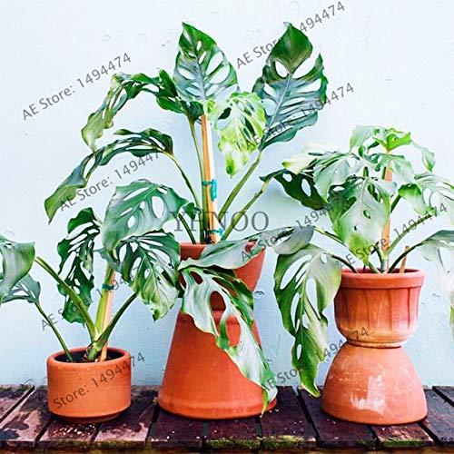 Shopmeeko Seltener Palm Turtle Plant Baum, Monstera ceriman, einfach zu züchten, Bonsaianlage für den Innenhof, 104pcs: 5
