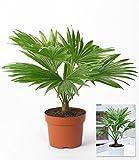 BALDUR-Garten Palme 'Livistona Rotundifolia',1 Pflanze