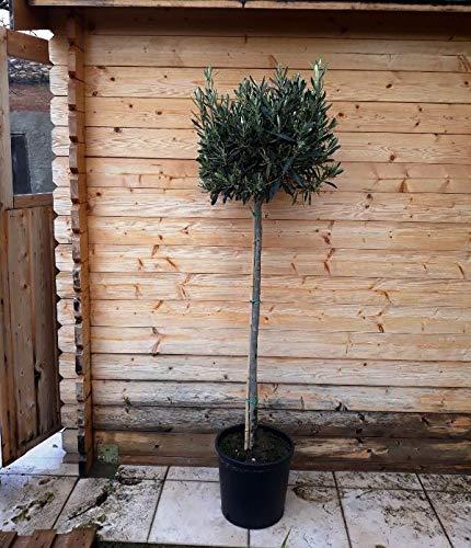Olivenbaum - Olea Europea Hochstamm 120 cm dicker Stamm Formgehölz