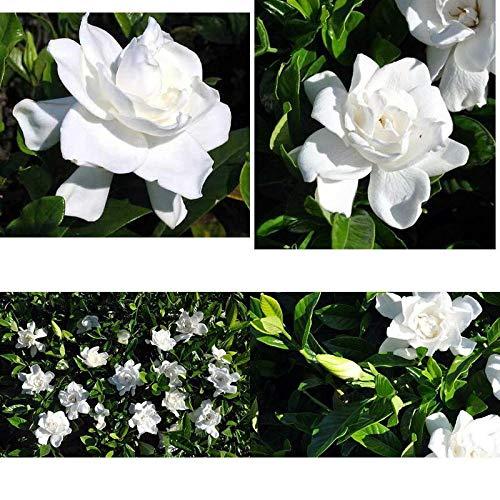 FERRY Bio-Saatgut Nicht nur Pflanzen: Summer Snow Gardenia stark duftend - Hardy 0 Grad - Starter-Plug - Hardy Gardenia