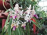 Vanda Tricolor plant.: Orchid