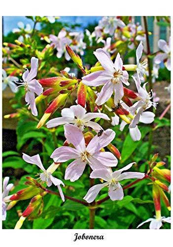 Unbranded/Generic Saponaria officinalis - Jabonera - 100 Seeds