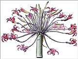 Posterlounge Acrylglasbild 130 x 100 cm: Amaryllis Josephina von Pierre Joseph Redouté/Bridgeman Images - Wandbild, Acryl Glasbild, Druck auf Acryl Glas Bild