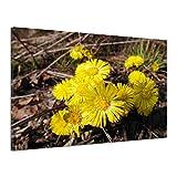 Huflattich März Frühblüher Gelb Blüte Pflanzen Leinwand Poster Druck Bild rv0655 160x120