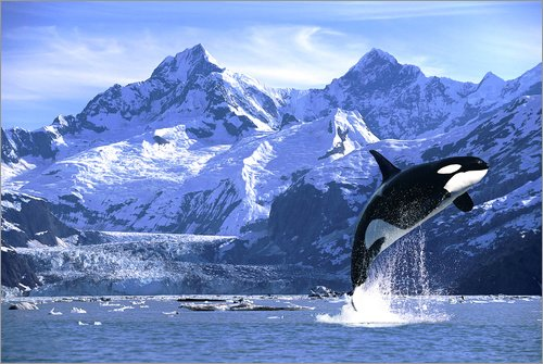 Leinwandbild 120 x 80 cm: Schwertwal springt vor Gletscher von John Hyde / Design Pics - fertiges Wandbild, Bild auf Keilrahmen, Fertigbild auf echter Leinwand, Leinwanddruck