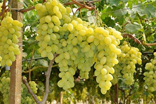 Galleria fotografica VITE REGALE MEDITERRANEA DA TAVOLA Pianta da frutto barbatella vite h 120