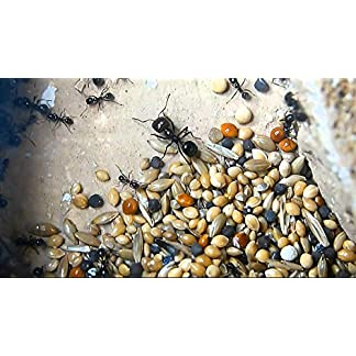 Organic Seed mix for Harvester ants(Twin pack) Organic Seed mix for Harvester ants(Twin pack) 51ZkPJWgJML