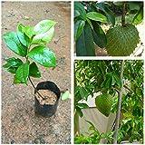 M-Tech Gardens Rare Exotic Tropical Soursop Annona muricata Prickly Custard Apple Fruit Plant
