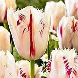 Keland Samen - 100 stück Tulpensamen Blumensamen Tulpen Ice Cream Mischung samen winterhart mehrjährig mehrfarbig