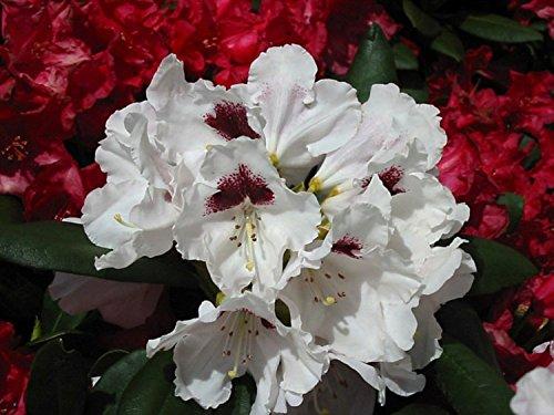 Rhododendron yakushimanum Annika Rhododendron lila-rosa-weiß blühend Lieferhöhe 120-140 cm im Topf