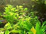 XXL Südamerika Aquarienpflanzen Set für 500-600 Liter