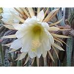 Selenicereus validus seeds