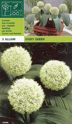 """Allium """" IVORY QUEEN """" von Mosselman auf Du und dein Garten"""