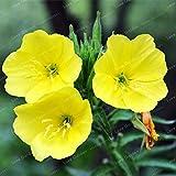Pinkdose 100 pz/Borsa fragrante Sera Primula Bonsai Fiore Bonsai Fiore Bonsai Vaso Fai da Te pianta Giardino di casa: 1