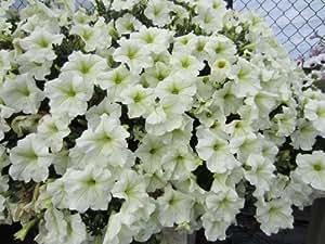 Dominik Blumen und Pflanzen, Petunia White, 3 Pflanzen im 12 cm Topf