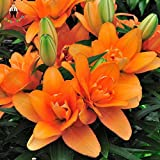 IDEA HIGH Seeds-100pcs / Bag ExÃ3ticos Bonsai im Blumentopf Pflanze Lirio Floraci¨3n im Freien Aromastoffen Lilum Verzierungen für den Garten Ihres Hauses FUSTIEREN: Gelb
