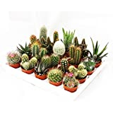 Mini-Cactus and Succulents - Collection of 20 Cute Plants