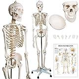 Menschliches Anatomie Skelett 181.5 cm - inkl. Schutzabdeckung, mit Ständer, Standfuss und Lehrgrafik Poster, Lebensgroß - Anatomie Lernmodell, Lehrmittel, klassisches Skelett