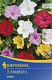 Kiepenkerl Blumenzwiebel Mirabilis Wunderblume | für schattige Orte im Garten | 3 Knollen