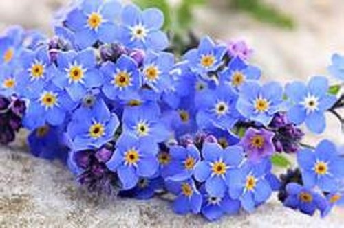 forget-me-not-seeds-myosatis-arvensis-wild-flower-2g-3200-fresh-meadow-bn