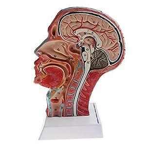 Baoblaze 1: 1 Modelo Anatómico Humano Estructura de Cabeza Cráneo Vasculares Herramienta de Enseñanza de Escuela