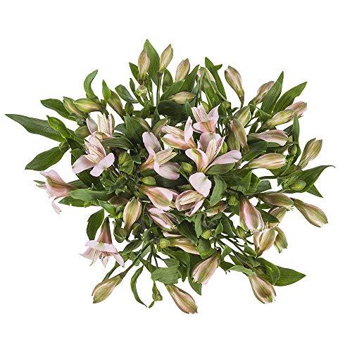 Choice of Green - 1 bouquet d'Alstroemeria, autrement dit lis incal - 10 tiges - hauteur ? 60 cm -