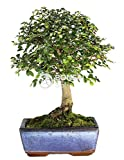 Bonsai - Olmo chino, 5 Años (Bonsai Sei - Zelkova)