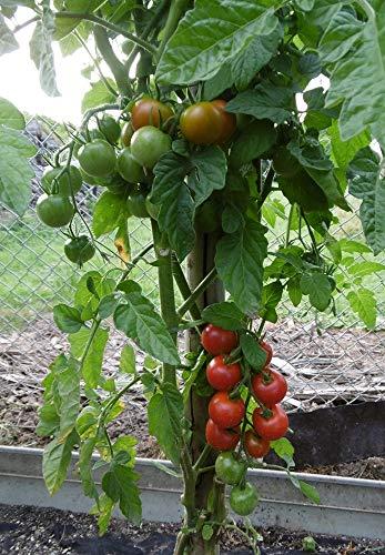 10 Samen Ernteglück Tomate – süße Früchte, ertragreich