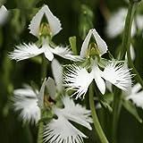 WuWxiuzhzhuo 100Weiß Egret Orchidee Samen Selten Wunderschöner Home Garten Ornament Blume 1