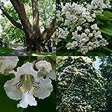 Fash Lady 30+ Northern CATAPULA Baum-SAMEN/SCHNELL WACHSEN/Herrliche Blumen