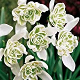 100 Double Snowdrops Actively Growing in The Green by GalanthusGardens®