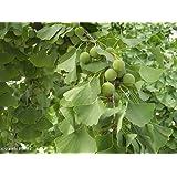 Ginkgo biloba - árbol de cabello de doncella - 5 semillas