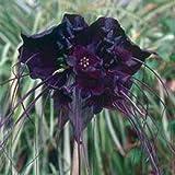 GETSO Samen-Paket Nicht Pflanzen: 5 Black Bat Blume Fledermausblume Katze WhiskersFlower Seeds * Kämme/H