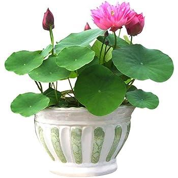Bowl Lotus Water Lily Flower Bonsai Lotus Ponds 5 Fresh Seeds