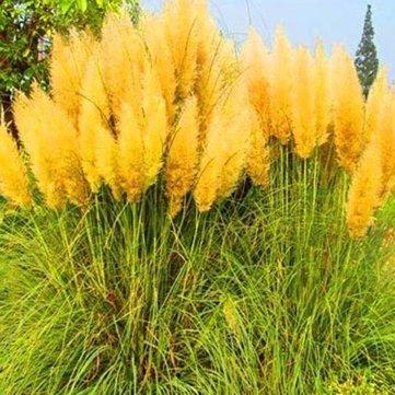 DaDago 200Pcs Pampas-Gras-Samen Topf Lila Pampas-Gras Garten Zierpflanzen-Gelb