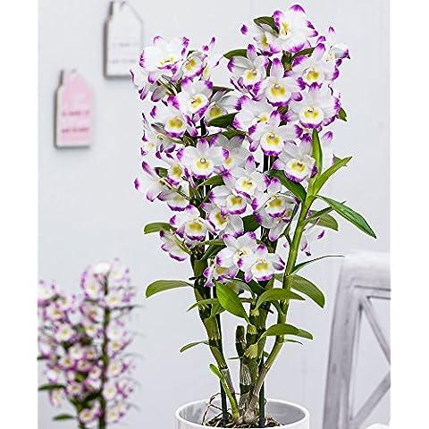 "Bakker Orchidea ""Irene Smile - cad."