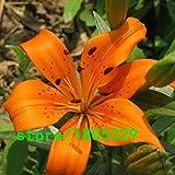 Pinkdose Semillas GGG Raras 100PCS Lirio anaranjado plantas raras de flores a domicilio semillas de flor de la jardinería bricolaje para jardín de plantación: púrpura