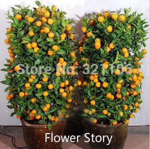 20 Mini DrawF comestible orange en pot Bonsai Seeds-- fruits, Tangerine Citrus facile -growing