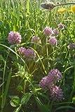 Just Seed - Wild Flower - Red Clover - Trifolium pratense - 4g