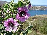 Portal Cool Malva Arborea Albero Malva Lavatera 30 semi viola Blooms Salt Tolerant Ukfreep