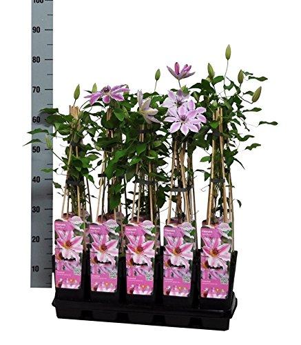 Clematis Kletterpflanzen (Waldrebe), ca. 65cm hoch, im Topf gewachsen, (Sorte: Nelly Moser (zweifarbig weiss/rosa))