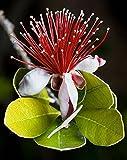 10 Samen Ananas Guava-Frucht brasilianisch oder Feige Guavablüte, Pink/Rot