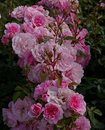 Beetrose Bonica®82 Meidomonac - Rosa Bonica®82 Meidomonac - hellrosa - Duft+ - Meilland-Rose Preis nach Stückzahl 2 Stück