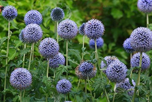 Ultrey Samenshop - Echinops Ritro Samen Kugeldistel blau Blumensamen Staudensamen Sommerblumen mehrjährig winterhart für Garten Beet/Wiesen