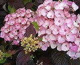 Tellerhortensie Preziosa - Schirmhortensie - Gartenhortensie - Hydrangea serrata Preziosa