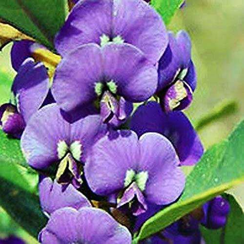Portal Cool Lila Pea Bush Samen Hovea Acutifolia blühender Strauch 20 Seed Pack -