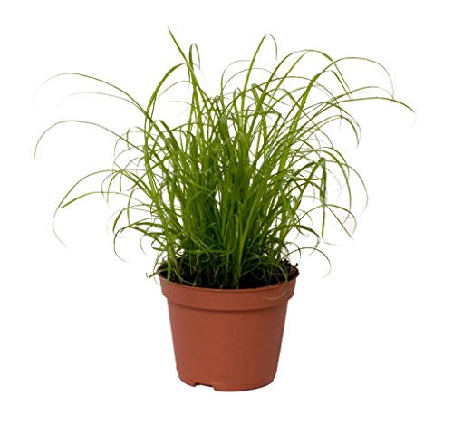 excellent-gift-present-for-cats-mini-cat-kitten-grass-ideal-for-house-and-flat-cats-grass-salad-indo