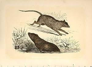 Gravure colorée de rat d'eau et de rat 1860 communs
