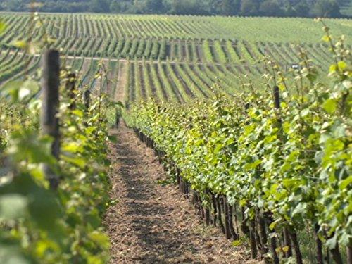 Weinbau in Deutschland - Mit Ernst Loosen an der Mosel