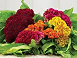#2: Cockscomb (Summer) Flower Seed (Pack Of 25 Seed Per Packet) BY AIREX